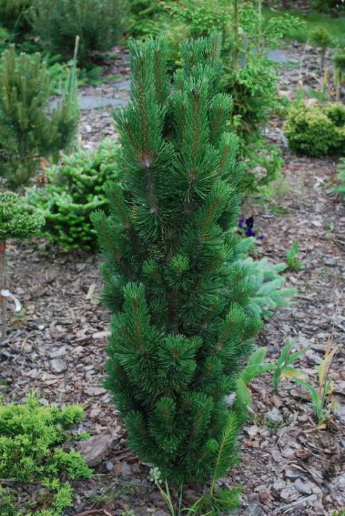 Pinus20mugo20Andrzej.jpgm13723169569d1a742d39a8f210.jpg