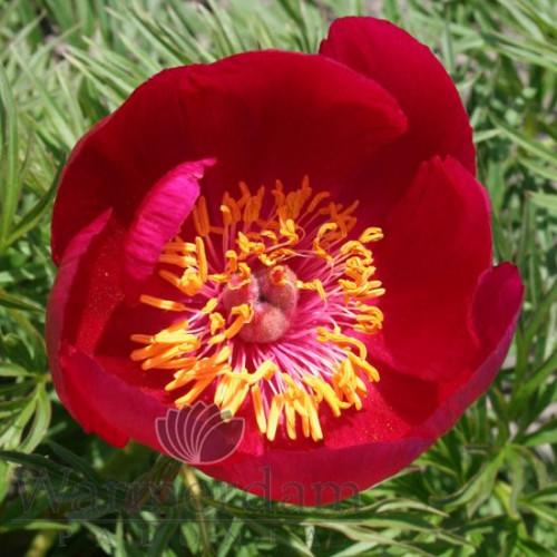 tenuifolia-hybrid_f1b25b4d2c82ee9033.jpg