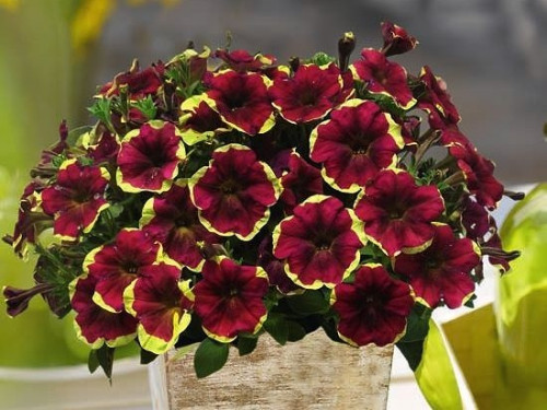 PETUNIY-Chameletunia-Purple-Yellow-Circle-.6f747cff0d546cc6.jpg