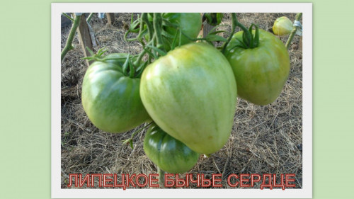LIPETKOE-BYCE-SERDTE6cd8f588c71e51c7.jpg