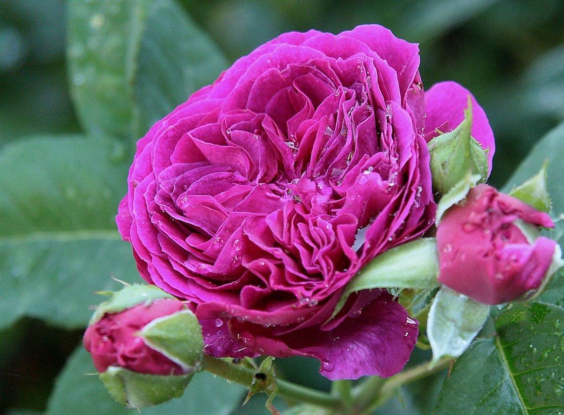фотографий хостинг фото розы лекарственными целями разводится