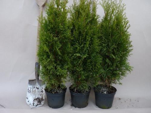 thuja smaragd pflanze