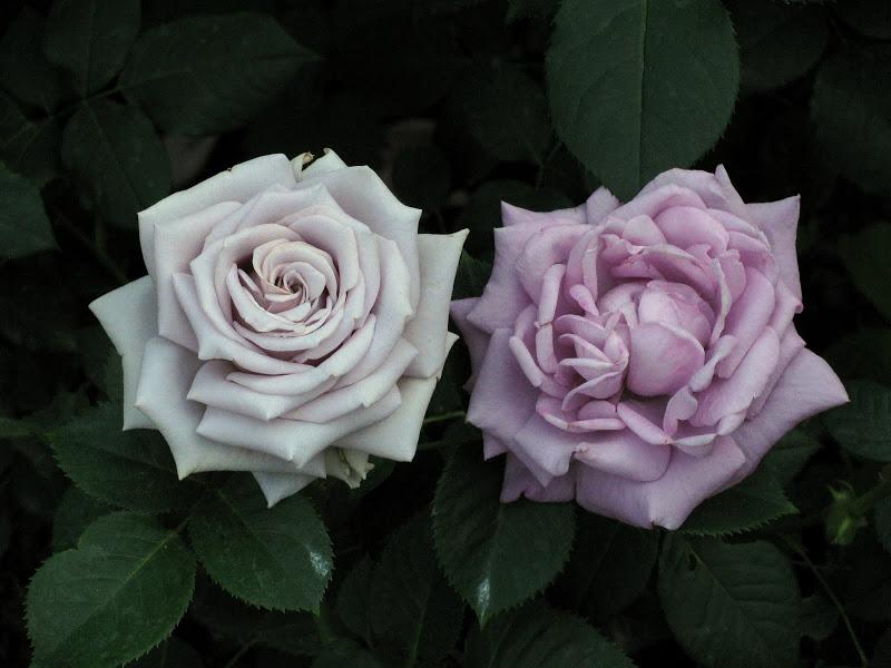 хостинг фото розы фонтана, где можно