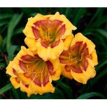 Hemerocallis-Jason-Salter-220x22008028a72cdb9b72d.jpg