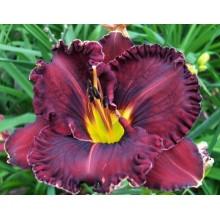 Hemerocallis-Purpleicious-220x22086268eaa07fa23b5.jpg