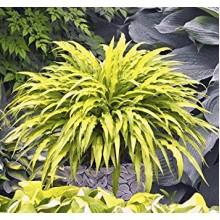 Hosta-Curly-Fries0-220x22033c3c80df201c1d7.jpg