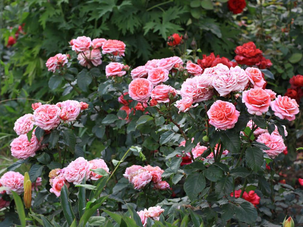 балконе хостинг фото розы уже очень